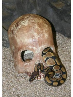 Pet Tekk Human Skull Hide